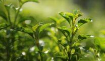Green Tea & Matcha